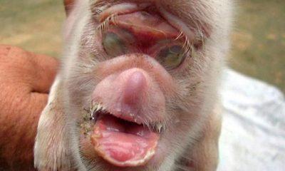 Piglet, Monkey, Havana, Cuba, Website, World news, Weird news