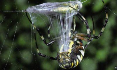 Spider, Garden Spider, Heart attack, Cardiac problem, spider silk proteins, Germany, Spider silk for cardiac damage, Cardiac tissue, Bayreuth