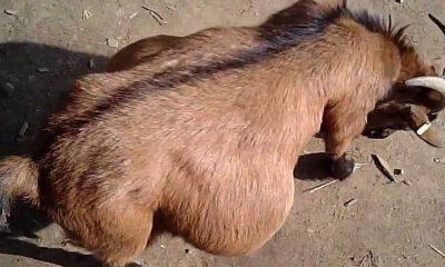 Pregnant goat, Goat gang-raped by eight men, seven-year-old pregnant goat, Haryana, Regional news, Weird news, Offbeat news