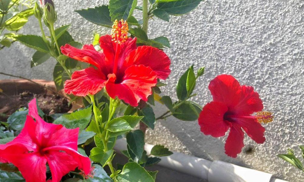 Gudhal Hibiscus Flower Can Keep Away Many Diseases Aaj Ki Khabar