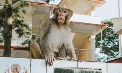 Monkey, Child, baby, Newly born baby, Monkey snatched child, Monkey snatched newly born baby from mother, Mother feeding baby, Auto-rickshaw driver, Monkey menace, Agra, Uttar Pradesh, Regional news
