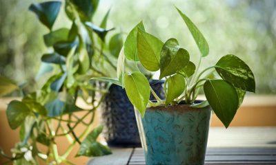 Indoor plant, Money plant, Pothos ivy, Pollutants, Pollutants at home, Pollutants inside home, Chloroform, Benzene, Cancer, Health news, Lifestyle news