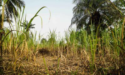 Young woman, Woman raped by two, Woman raped in front of mother, Woman raped in sugarcane field, Muzaffarnagar, Uttar Pradesh, Regional news, Crime news