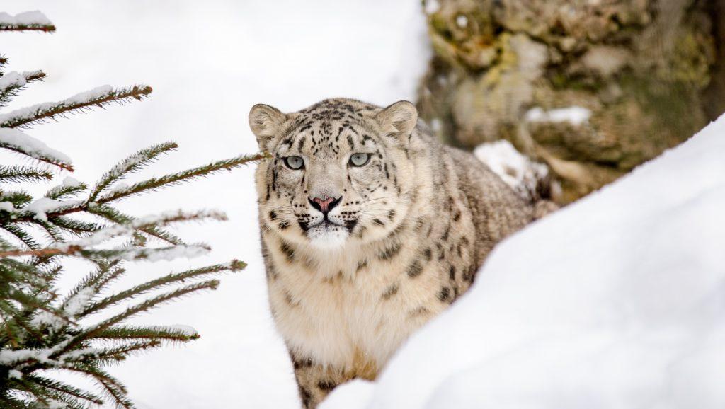 Snow Leopard, Ghost of the Mountain, Photograph of leopard, Snap of Leopard, Wildlife photographer, Social media, Instagram, Shimla, Himanchal Pradesh, Weird news, Offbeat news