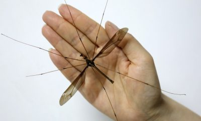 मच्छरों
